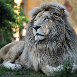 lion animal beauty feline e-go freetoedit e
