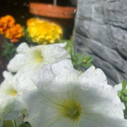 watersunflower