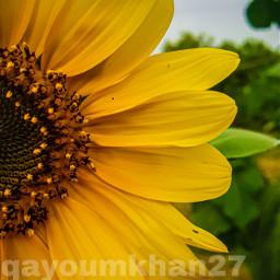 qayoumkhan27 qayoumkhanphotography photooftheday instamood green nature sunflower sunflowerselfie sunflowersgalore wallpaper wallpapers mobilephotography mobilewallpaper sexygirls