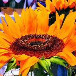 freetoedit flowers sunflower girasol naturelovers flowerphotography floresamarillas pccolorsisee colorsisee