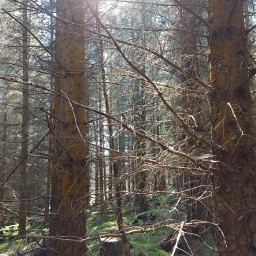 freetoedit sunnydays woodland pinetrees mossyforest beautiful mysticalnature scotland ownphotography picsart picsartchallenge challenge pcsunnyweather sunnyweather