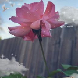 bringbackremixchat saveremixchat stopforcingkidstoremix rose roseedit pinkrose pinkflower flower floweredit dreamy dreamyedit vintage nature freetoedit