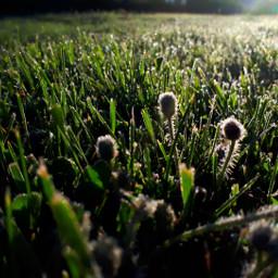 dandelions morningsun grass sunrise dewdrops sparkling freetoedit pcsunnyweather sunnyweather