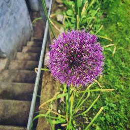 summer summerflower purple nature flower gardening
