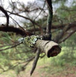 tree wild pine runaway