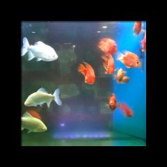 grunge indie aesthetic grungeaesthetic pinterest fish underwater aestheticfish fishtank orangefish bluetones blueandorange underwateraeathetic creative grungetheme vibes vibe grungevibe summer summervibe y2k y2kaesthetic kimmyffish freetoedit