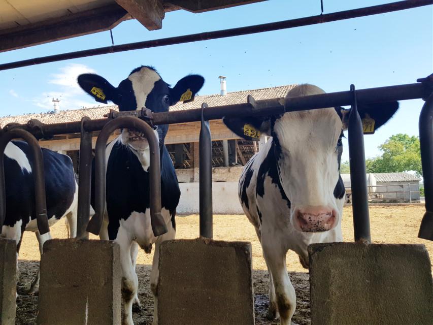 #cows #farmhouse #myphoto #lombardia #italia #mucche in cascina alla mangiatoia