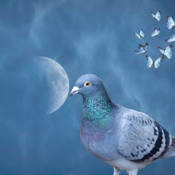 photo bird pigeon moon butterfly freetoedit