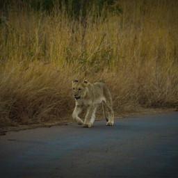 cub lion animallover nature