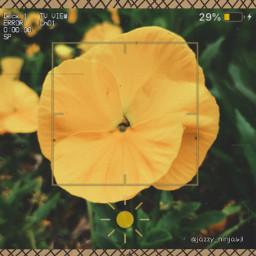 bringbackremixchat saveremixchat stopforcingkidstoremix yellow flower yellowflower flowerphoto camera cameratheme yellowvibes yellowtheme nature pansy yellowpansy pansyflower pansyedit