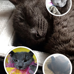 mycat cat cute cutecat mycatiscute graycat freetoedit