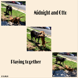 collage labrador dogs mydog blacklabrador myphotography petsandanimals animals pets mypet cute dogsplaying