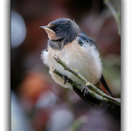 barnswallow rauchschwalbe swallows schwalben nature naturephotography naturelovers moments landliebe landleben stille canon thinkingboutyoubp