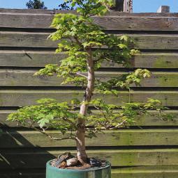 photography bonsai nature freetoedit