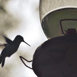 hummingbird hummingbirds bird freetoedit