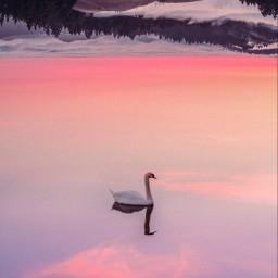 nature swimming madebyme birds swan beautiful upsidedown remixed