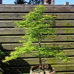photography bonsai nature