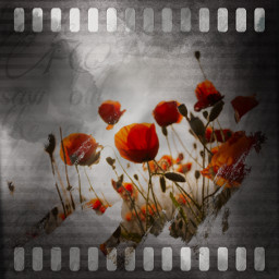 flowers red redflowers myedit followme remixit likeit freetoedit unsplash