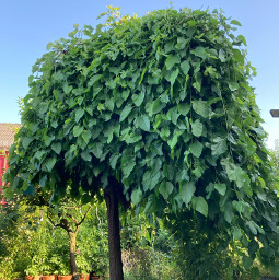 mulberry mulberrytree garden photography orient_photos