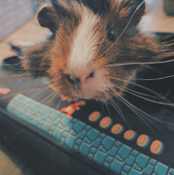 guinnepig mybaby donecarefuly