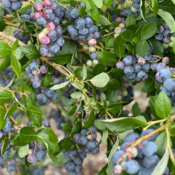 freetoedit bluberry blueberries berries
