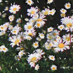 fieldsofdaisies daisies freetoedit