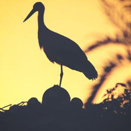 freetoedit endoftheday goldenhour sunsettime summersunset warmgoldenlight treebranches house roof stork houseroof rooftop againstthelight silhouettes urbannature sunsetphotography