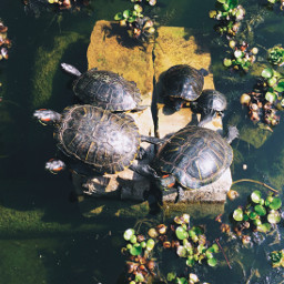freetoedit outside photography turtles nature pond picsartchallenge outsidephotography greenery pcoutside