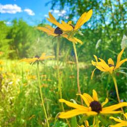 freetoedit summer wildflowers meadow field flowers nature beautifulday