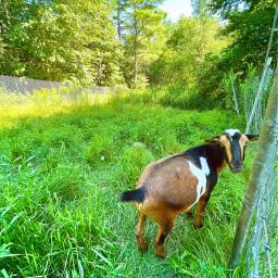goat farm farmanimal summer nature trees pasture freetoedit