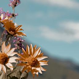 freetoedit photography flowers closeup summer nature holidays sky mountain myphoto myclick