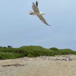 freetoedit thief seagull bird ocean summer sand nature beach
