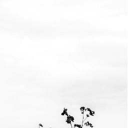 myphotography tree sky blackandwhite blackandwhitephotography background freetoedit
