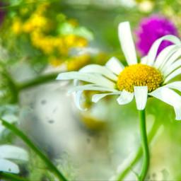 freetoedit photography nature flowers daisy summer holidays myphoto myclick