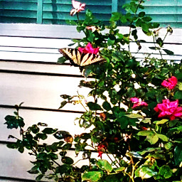 butterfly butterflies rose roses gardening garden
