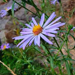 purple flowers nature summer adjusttool freetoedit