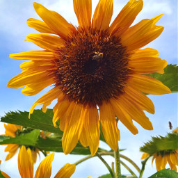freetoedit sunflower summer bees flowers outside garden nature