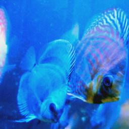 discusfish srilanka freetoedit