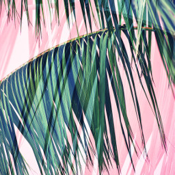freetoedit replacecolor addphoto palmtrees pink fronds