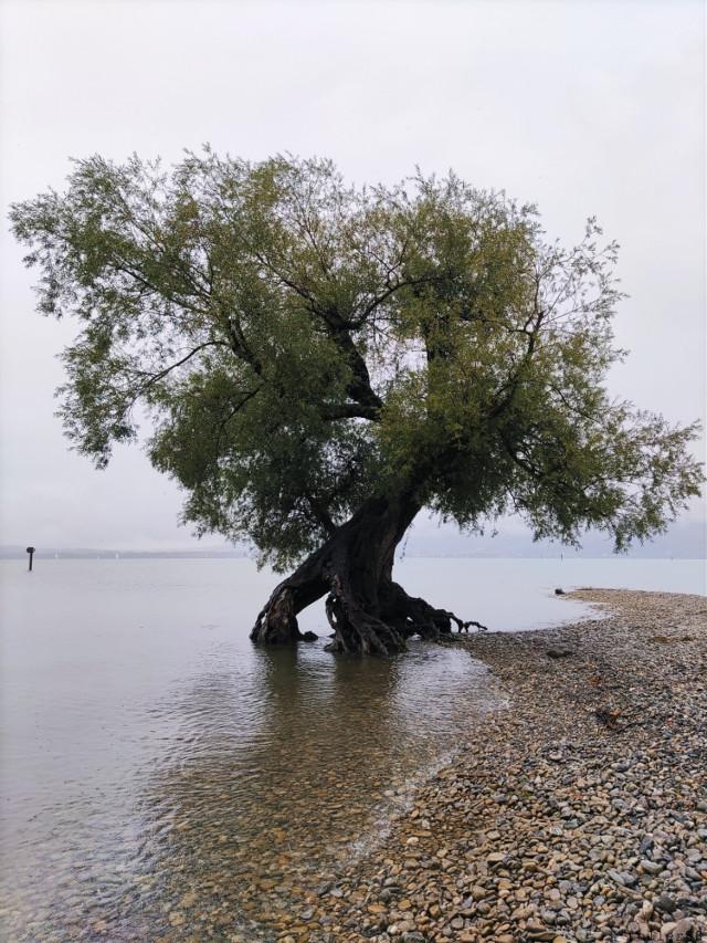 Rainy days in Bregenz🌧️ The old willow tree on the photo is my favourite tree, it survived so many floods and storms and has been here for as long as I can remember😍    ___  Taglist🌟 ✓ @sheltie12 ✓ @gg_dd_ket ✓ @svetlana812sveta ✓ @hannah_081208 ✓ @brieffreundin78 ✓ @theaditisharma ✓ @ltoss ✓ @vader_photography ✓ @mayaa_so ✓ @ketolemiibudgies ✓ @ilincadraghescu13 ✓ @mdaymilktea ✓ @itsgiuliiiii ✓ @kinora ✓ @my_photography_art ✓ @soleba ✓ @brillaperla ✓ @creativearts1234 ✓ @vedika20anand ✓ @waterarrow ✓ @photos1424 ✓ @photography_philipp ✓ @karborobi ✓ @cloudy_photos ✓ @fredh57 ✓ @sarahjwzz ✓ @planterpot ✓ @incredible_isabel ✓ @bcb7mxiwmsytlwzuy59g ✓ @goldenworlds ✓ @luciannewells ✓ @maycarog ✓ @dreamer_cat13 ✓ @lg1378 ✓ @veda_varshita Comment 🌟 if you wanna join!  ••••••••••••••••••••••••••••••••••••••••••••••••••••••••••••••••••••••••••  #freetoedit #tree #willow #memories #nature #rainyday #rain #clouds #lake #water #bregenz #vorarlberg #austria #childhoodmemories #naturephotography #cellphonephotography #rainydaywalk