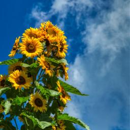 freetoedit photography sunflowers sky clouds landscape nature bluesky local