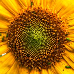 sunflower local