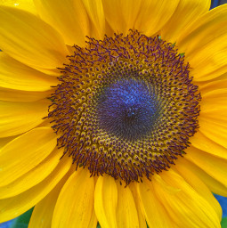 freetoedit myphoto sunflower sunflowerphotography sunflowerpower beautiful picsart picsartmastercontributor girasol