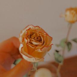 rose yellow effect edit pink winter freetoedit