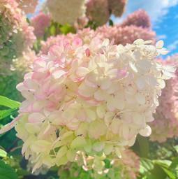 freetoedit flower summer garden flowerphotography nature beautifulday flowers closeup bluesky clouds