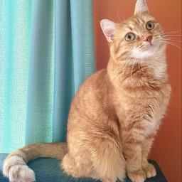 freetoedit mycat kitty cat pets orangekitty