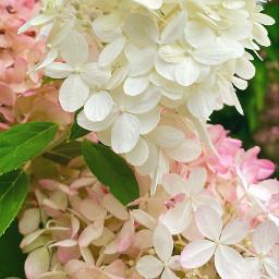 flowers pure nature blossoms garden flowerphotography backgrounds closeup freetoedit