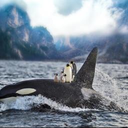 freetoedit orca pinguin