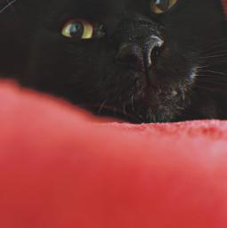 freetoedit cat blackcat pet animal cute autumnvibes pcbeautythroughmyeyes beautythroughmyeyes