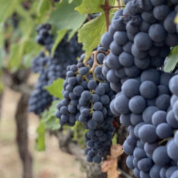 freetoedit nature vinyard vineyardvines grapes blackgrapes leaves greenleaves fruits naturegifts beautyinnature countryside agriculture focusontheforeground depthoffield naturephotography